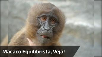 Macaco Atravessando A Ponte Como Se Fosse Um Equilibrista, Ele Manda Muito Bem!