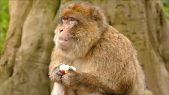 Macaco Comendo Maçã, Veja Como Ele Gosta Da Fruta É Muito Bonitinho!