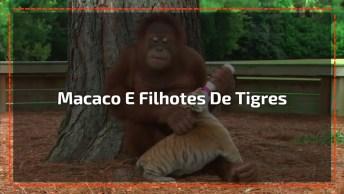 Macaco Cuidando De Filhotes De Tigres, Eles Se Tornaram Amigos!