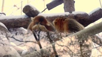 Macaco Dourado Observando A Chuva, Conheça Este Incrível Animal!