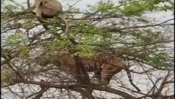 Macaco Esperto Fugindo De Um Tigre! Veja Só O Que Ele Fez!