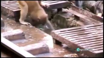 Macaco Tem Reação Incrível Após Ver Seu Amigo Desmaiado Depois De Choque!
