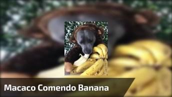 Macaquinho Comendo Banana, Não Pera, Não É Um Macaco, Kkk!