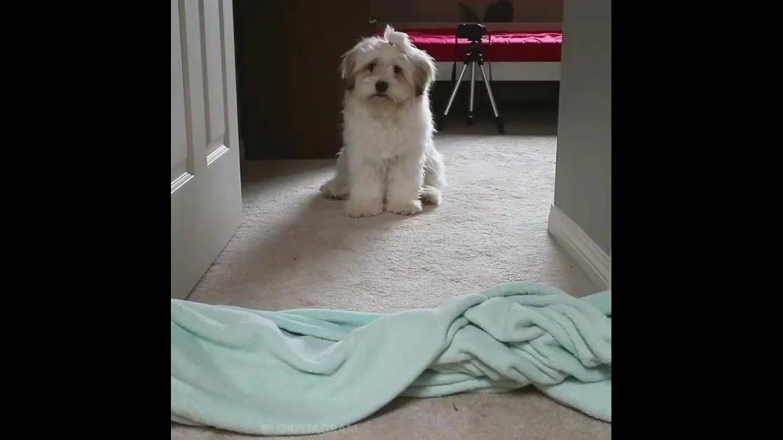 Magica do desaparecimento com cachorros