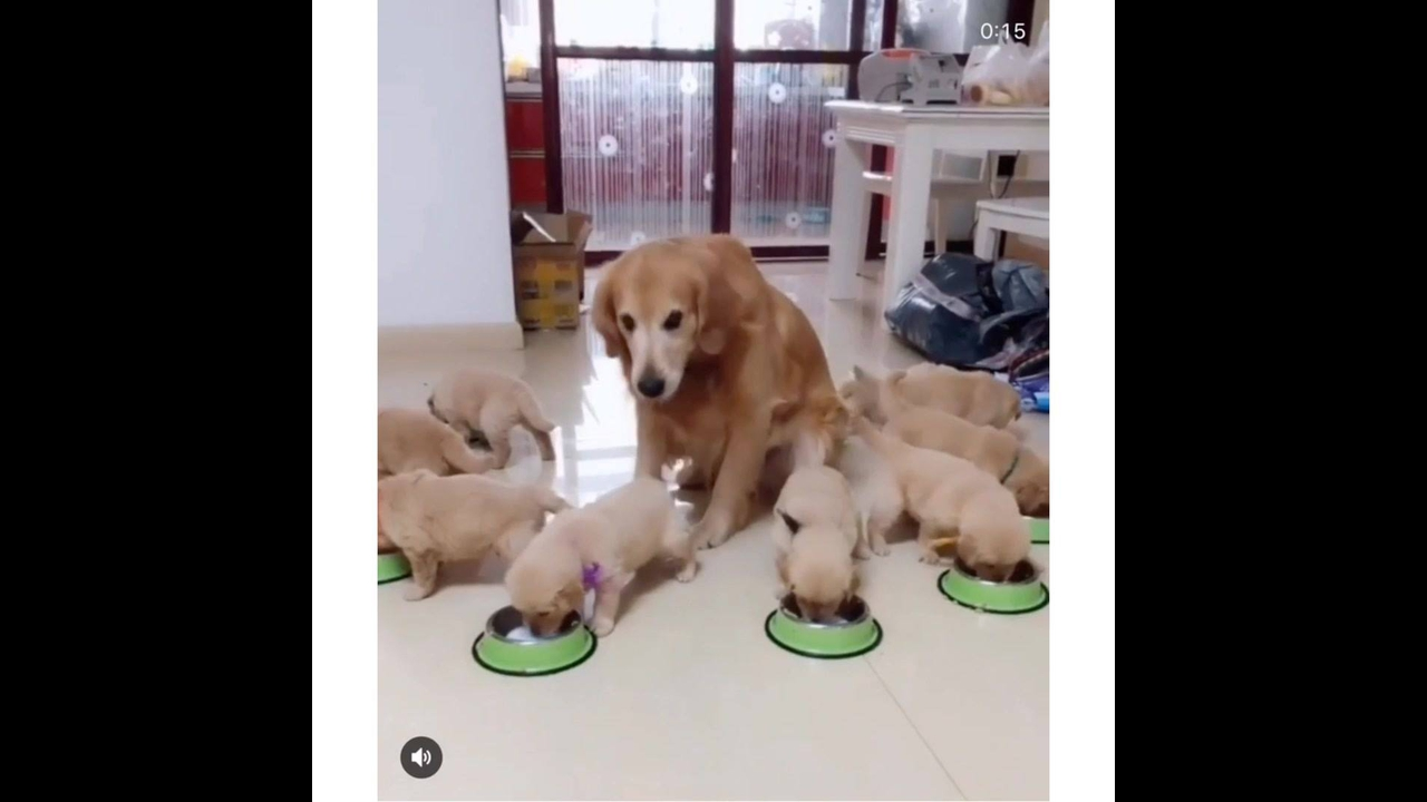 Mamãe cachorra olhando seus filhotes na hora do almoço
