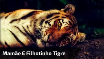 Mamãe E Filhotinho De Tigre, Que Família De Tigre Linda, Confira!