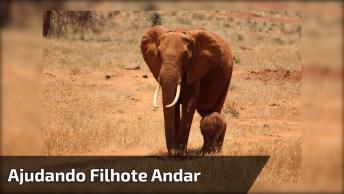 Mamãe Elefante Ajudando Seu Filhote A Andar, Que Cena Linda!