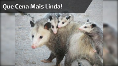 Mamãe Gambá E Seus Filhinhos, Que Cena Mais Linda Da Natureza!