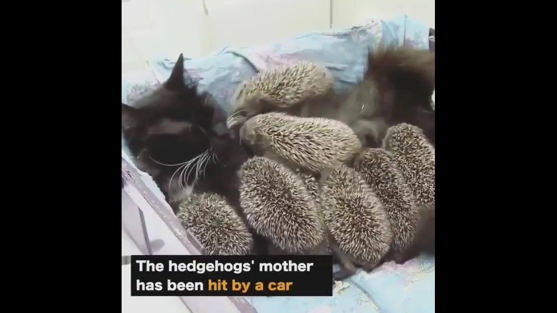 Mamãe gata adota filhotinhos bem diferentes de gatinhos