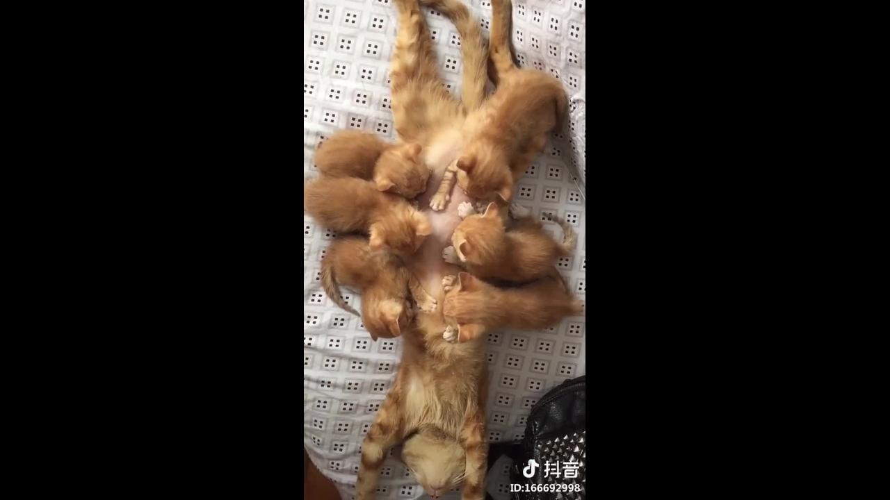 Mamãe gato amamentando seus 6 filhotinhos