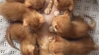 Mamãe Gato Amamentando Seus 6 Filhotinhos, Olha A Preguiça Dela!