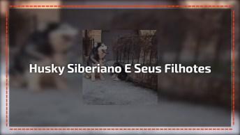Mamãe Husky Siberiano Acordou Sem Paciência Hoje, Olha Como Ta Brava!