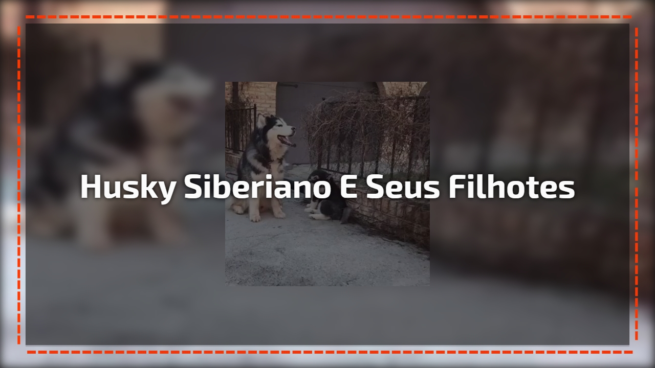 Husky siberiano e seus filhotes