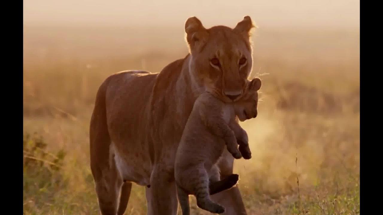 Mamãe leoa cuidando de seus filhotes
