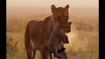 Mamãe Leoa Cuidando De Seus Filhotes, Olha Só Que Lindinhos!