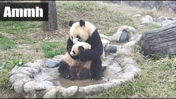 Mamãe Panda Dando Banho Em Seu Filhote, Olha Só Que Engraçadinho!