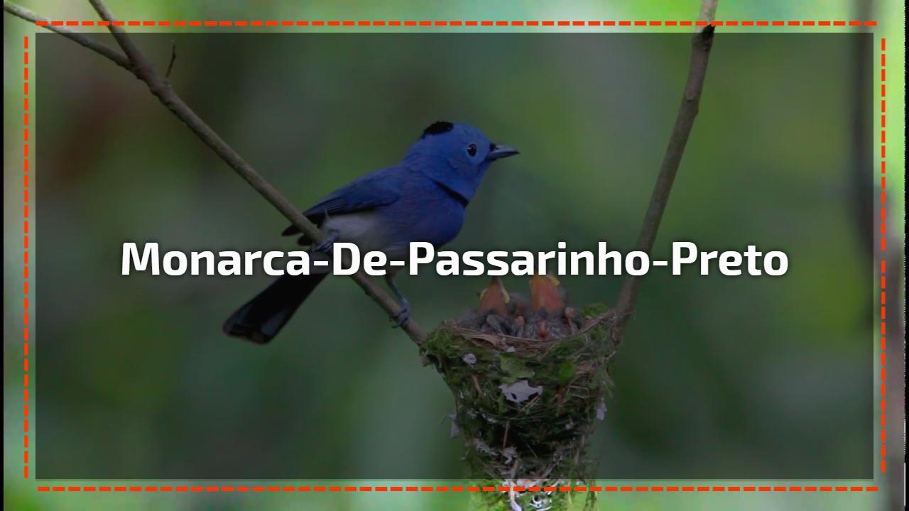Monarca-de-passarinho-preto