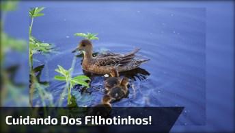 Mamãe Pata Atravessando O Lago Com Os Filhotinhos Todos Em Suas Costas!