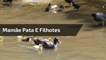 Mamãe Pata E Seus Filhotes Passeando No Lago, Que Linda Família!