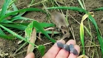 Mamãe Rato Pecando De Volta Seus Filhotinhos Perdidos, É Muito Bonitinho!