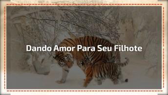Mamãe Tigre Dando Amor Para Seu Filhote, Uma Cena Muito Linda!