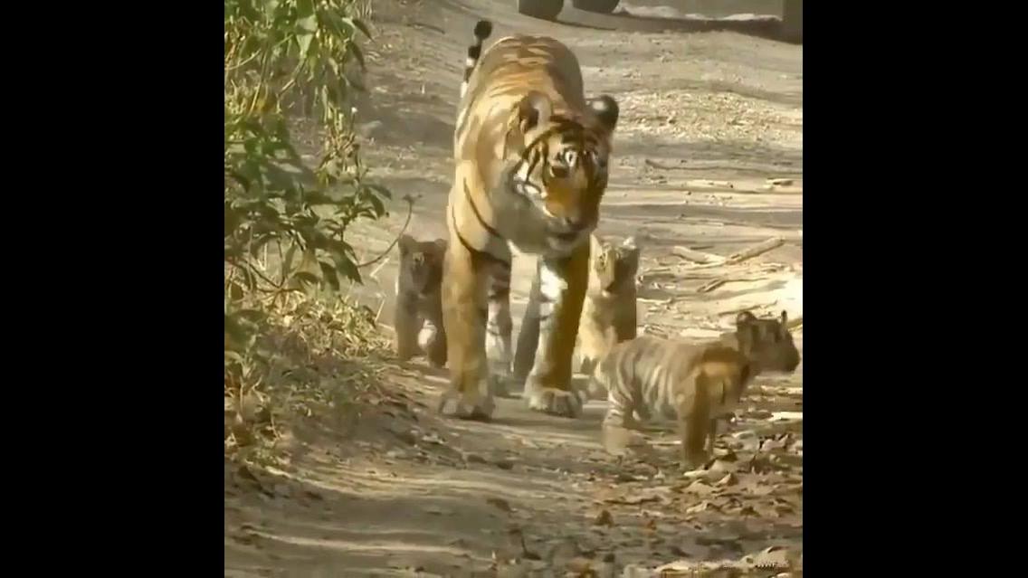 Mamãe tigre e seus filhotes
