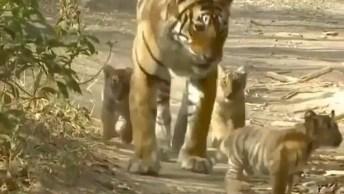 Mamãe Tigre E Seus Filhotes, Olha Só Que Coisa Mais Linda De Imagem!