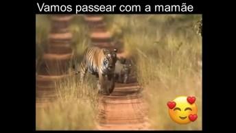 Mamãe Tigre Passeando Com Seus Filhotinhos Na Estrada, Que Família Linda!