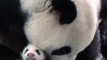 Mamãe Urso Panda Visivelmente Emocionada Ao Ver Seu Filhote Pela Primeira Vez!