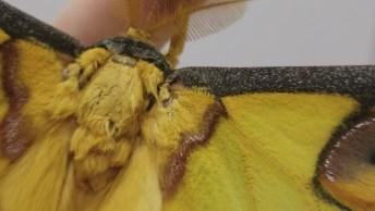 Mariposa Argema Mittrei, Uma Especie Que Se Encontra Nas Ilhas De Madagascar!