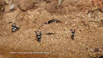 Mariposas Dragontail - Os Insetos Mais Diferentes Que Vai Ver Hoje!