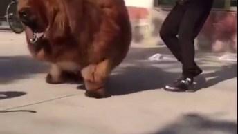 Mastiff Tibetano - Um Cão De Guarda Gigante, Veja Que Lindo!