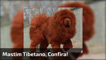Mastim Tibetano - A Raça De Cachorro Mais Cara No Mundo, Confira!