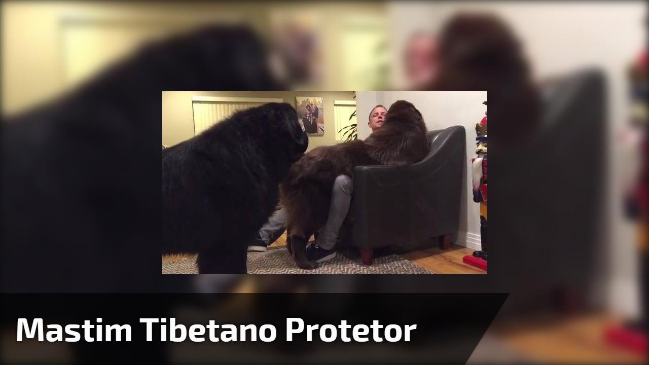 Mastim Tibetano protetor
