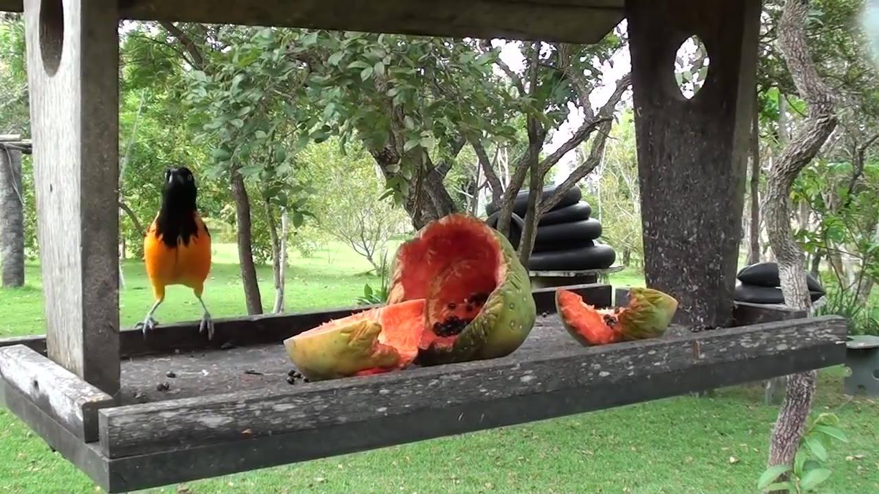 Melro-amarelo lindo comendo frutinha no comedouro para pássaros