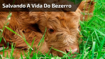Menino Salvando A Vida De Um Bezerro Atolado No Barro, Muito Linda A Atitude!