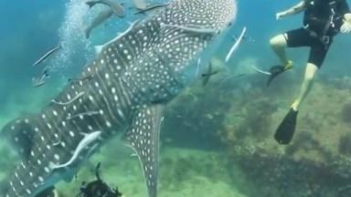 Mergulhador Nadando Com Um Tubarão-Baleia, Teria Essa Coragem?