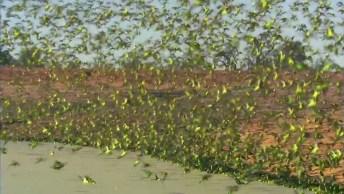Milhões De Periquitos Bebendo Água E Fugindo De Um Falcão!