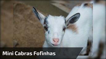 Mini Cabras Como Elas São Fofinhas E Adoram Brincar, Veja Que Fofas!