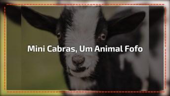 Mini Cabras, Um Animal Que Vem Conquistando Seu Espaço Com Muita Fofura!
