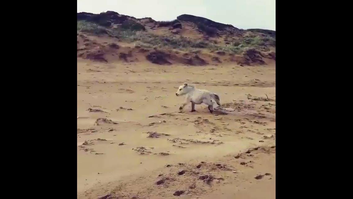 Mini cavalo correndo na areia