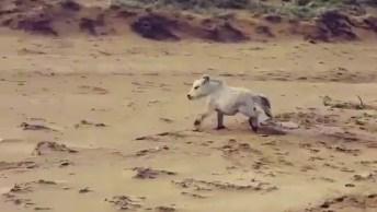 Mini Cavalo Correndo Na Areia, O Vídeo Mais Fofo Que Você Verá Hoje!