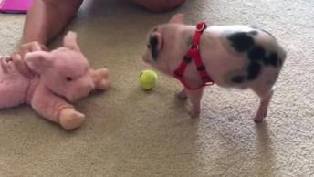 Mini Porquinho Brincando Com Seu Bichinho De Estimação, Veja Que Fofo!