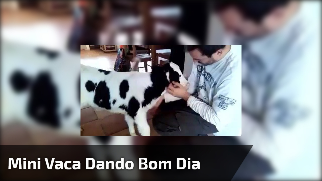Mini vaca dando bom dia