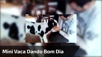 Mini Vaca Dando Bom Dia Para Seu Dono, Olha Só Quanto Amor Entre Eles!