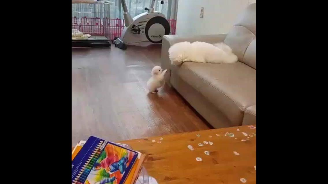 Momento fofura do dia, filhotinho tentando subir no sofá