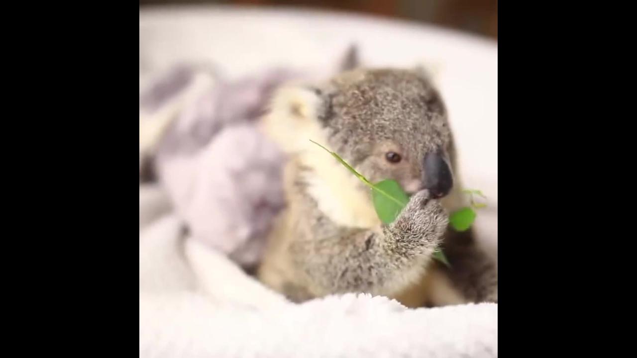 Momento fofura do dia, olha só este filhotinho de coala