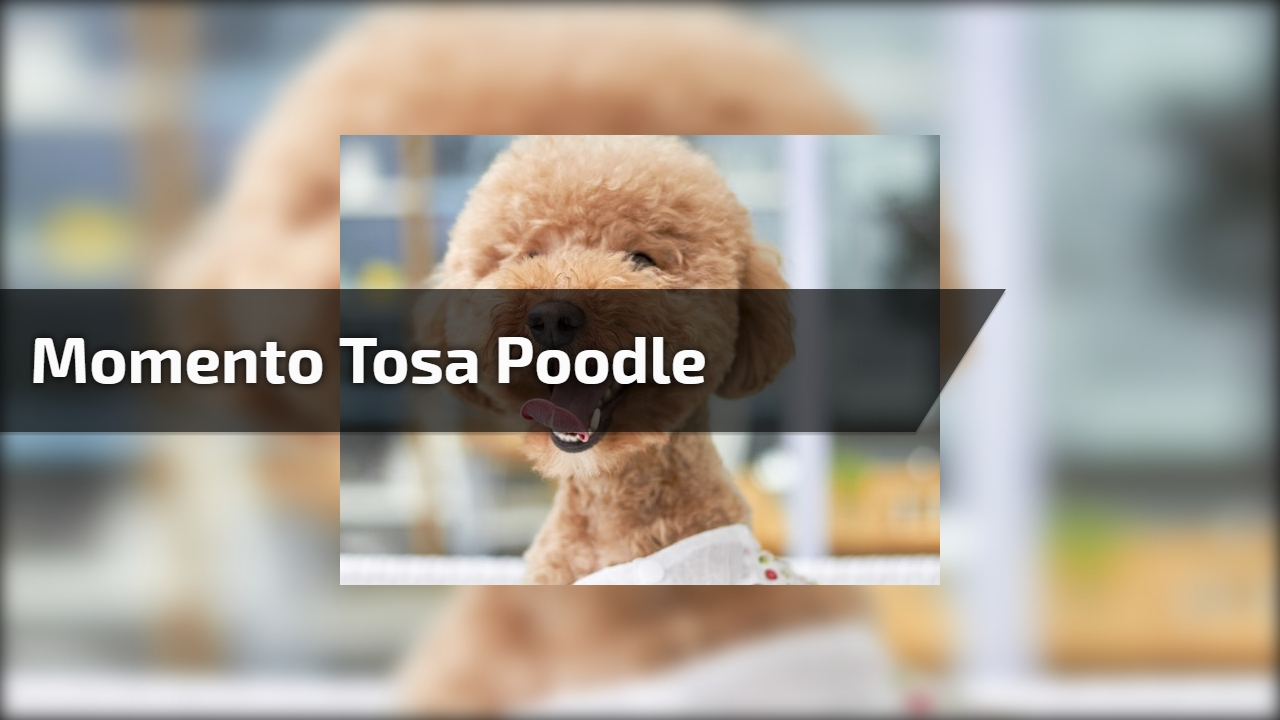 Momento tosa poodle