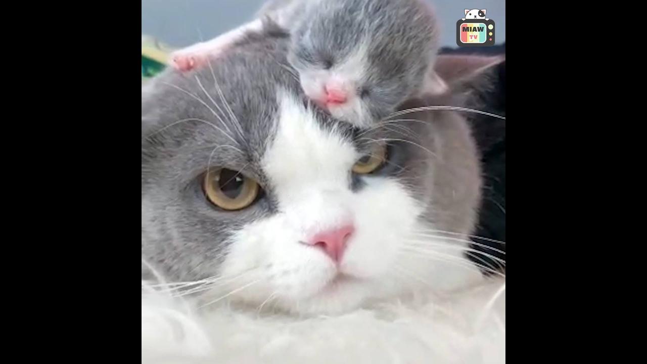 Momentos fofos e engraçados de filhotes de gatos e suas mamães