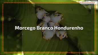 Morcego Branco Hondurenho Uma Especie Rara Muito Bonitinha!